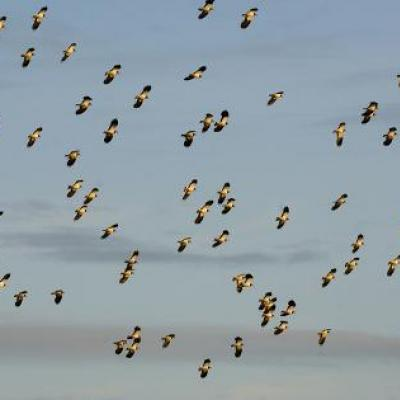 andrew-parkinson-flock-of-lapwing-vanellus-vanellus-in-flight-turning-together-in-evening-light-norfolk-uk