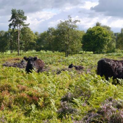 Cattle grazing on Bickerton Hill