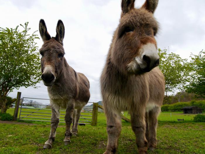 Donkeys at Brown Knowl