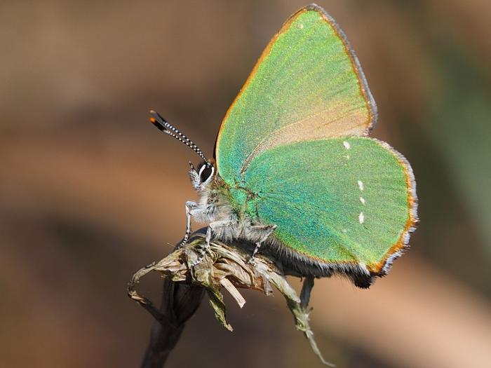 Flaxmere green hairstreak  Natalie Webb