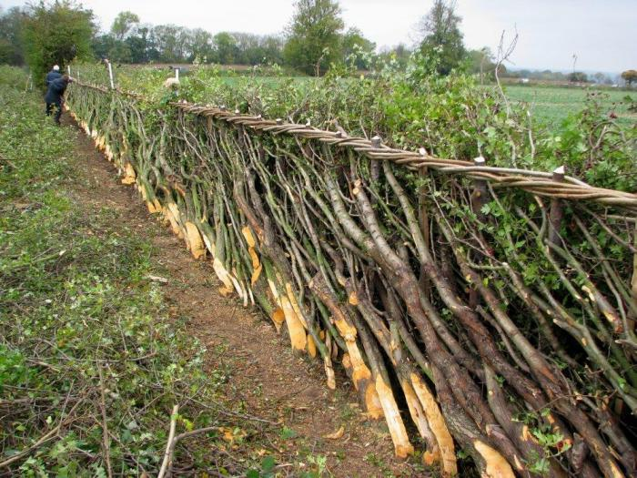 hedge-laying-courtesy-of-dave-bull