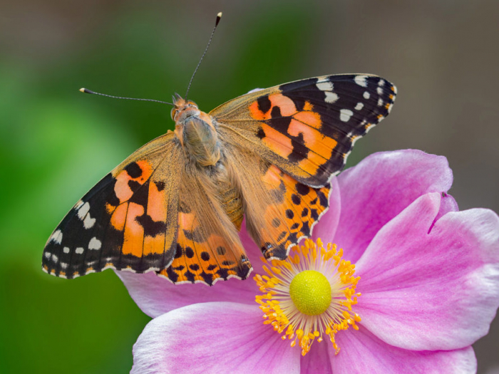 Painted-Lady_Andrew-Cooper-Butterfly-Conservation-990x673